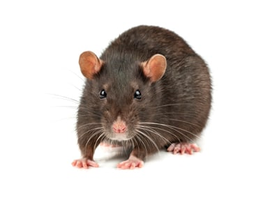 Why are rat's pests?