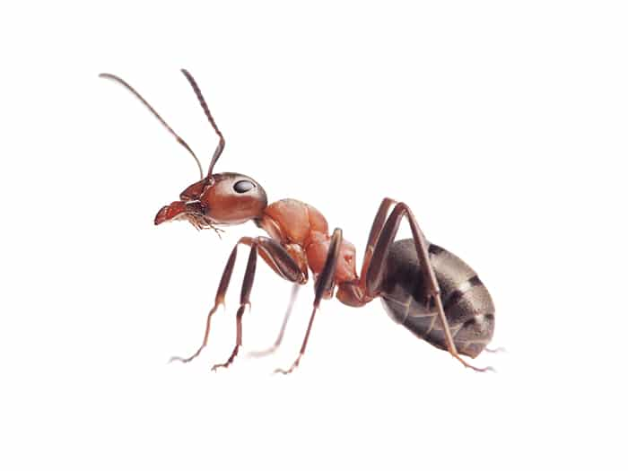 Ant nest treatment Hale Pest Control