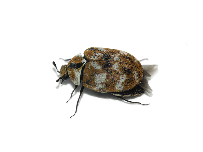 Carpet beetle treatment Congleton Pest Control