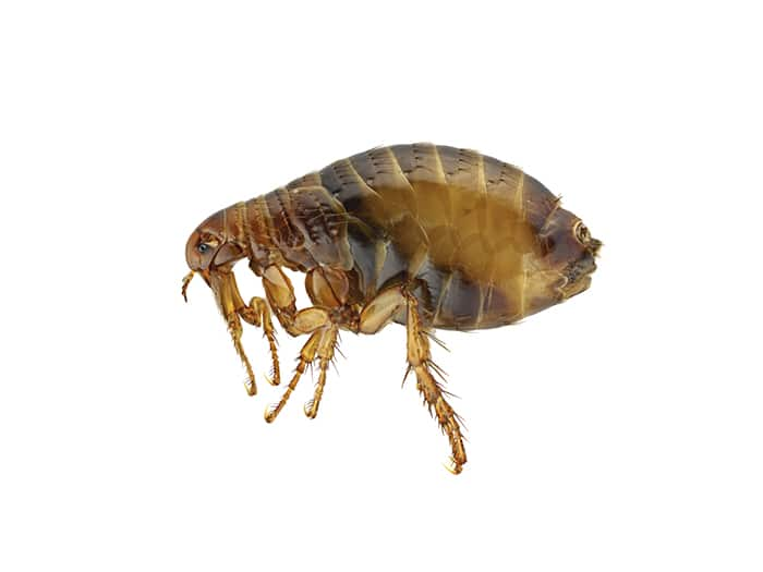 Flea treatment Davyhulme Pest Control