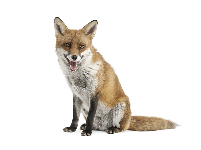 Fox control Swinton Pest Control
