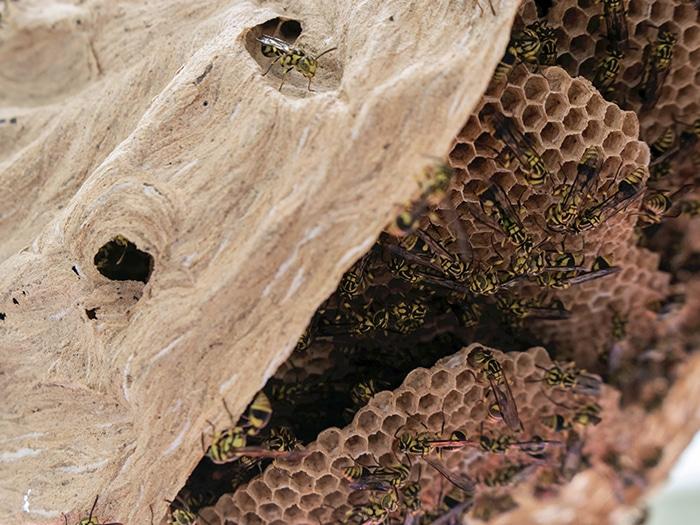 Hornet nest treatment
