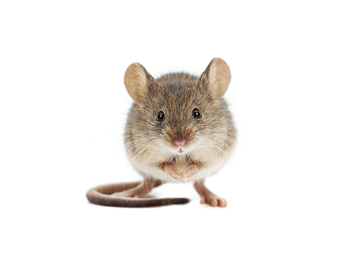 Who is at risk of a mouse infestation?