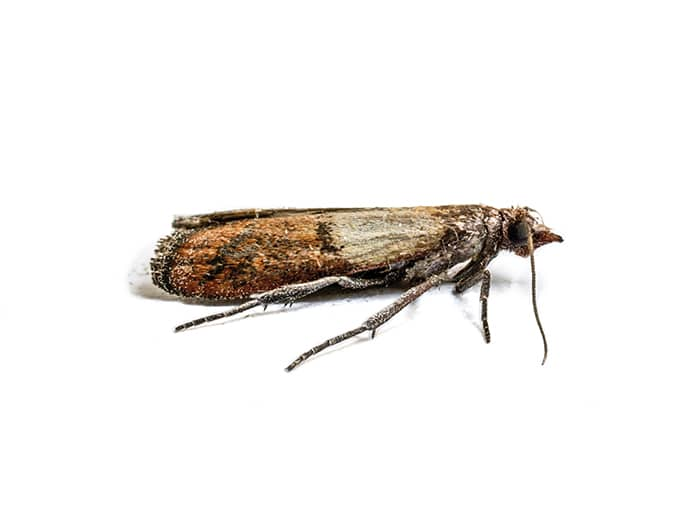 Clothes moth treatment Bury Pest Control