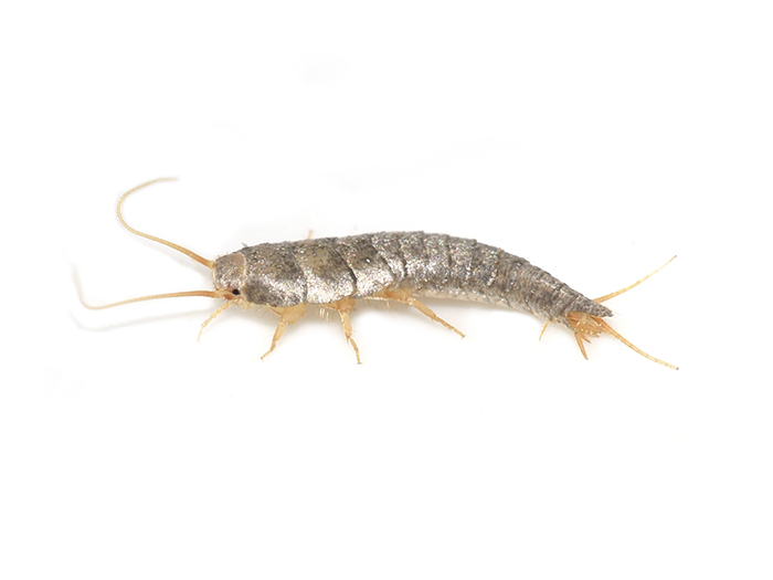 Who is at risk of a silverfish infestation?