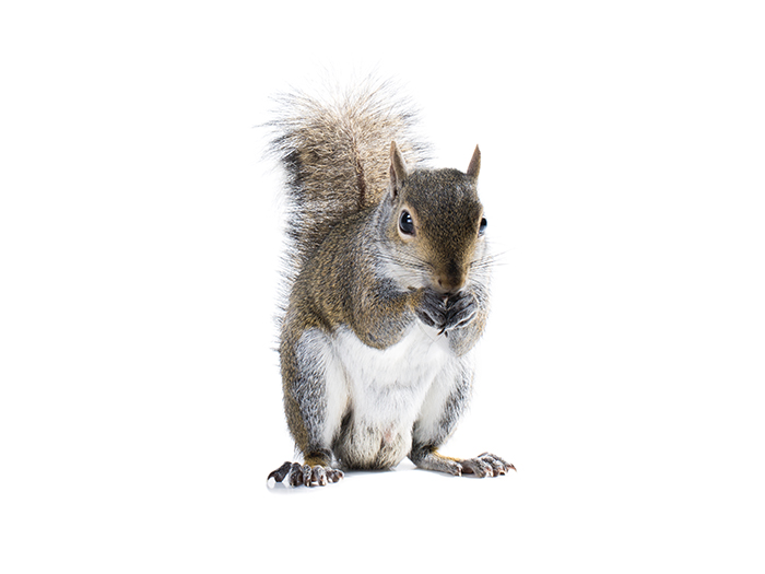 Squirrel pest control Manchester