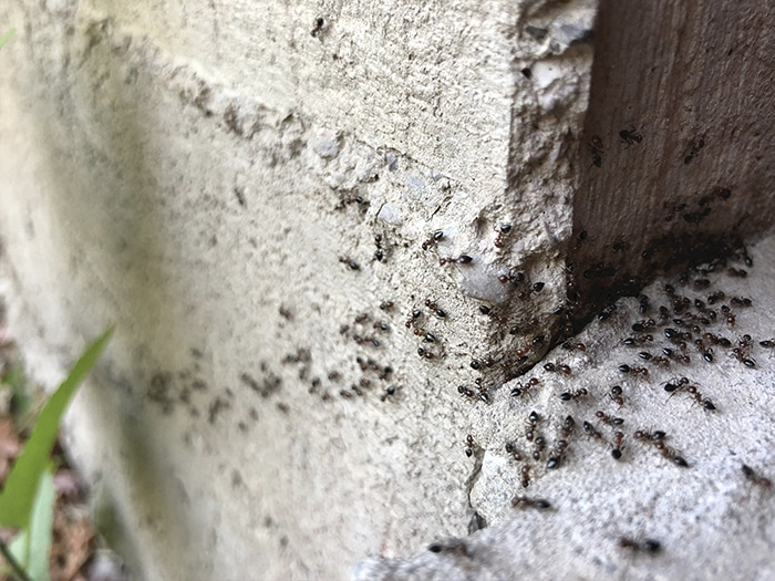 Who is at risk of an ant infestation?