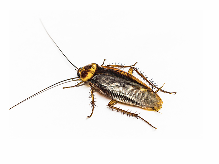 Asian cockroach infestation?