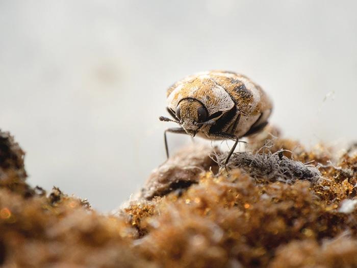 Beetles Manchester Pest Control