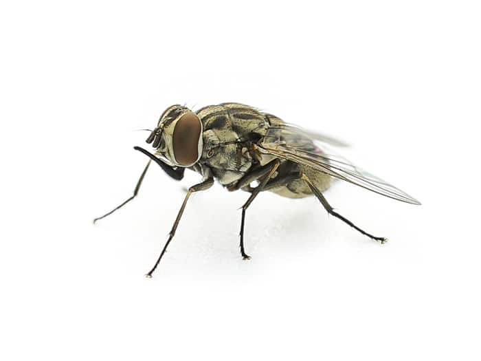 Cluster fly treatment Bowden Pest Control