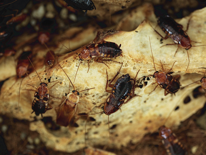 Do cockroaches have an odour?