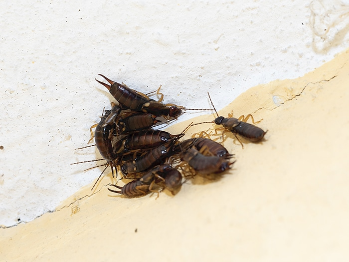 Where can I find earwigs within my property?