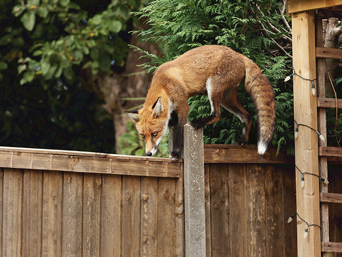 Do you provide a service for a fox infestation at all hours?