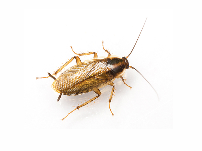 How do I know if I have a cockroach infestation?