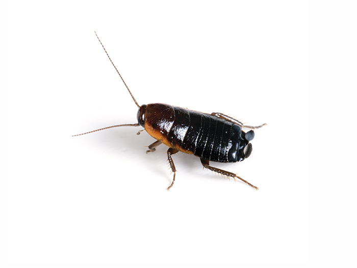 Oriental cockroach infestation?