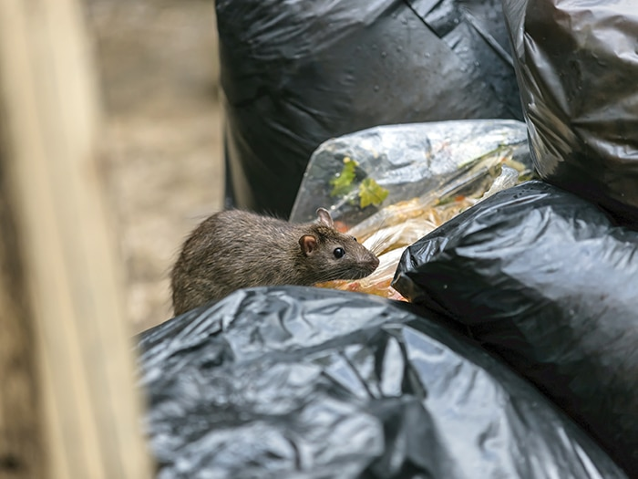Who is at risk of a rat infestation?