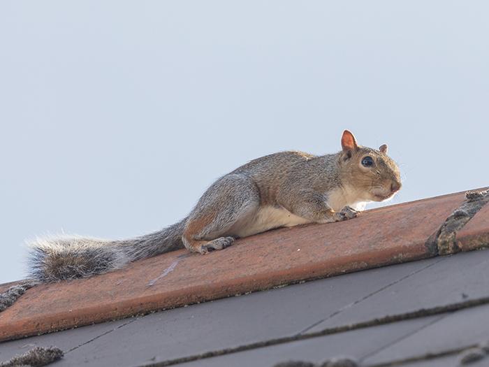 Squirrel infestation prevention