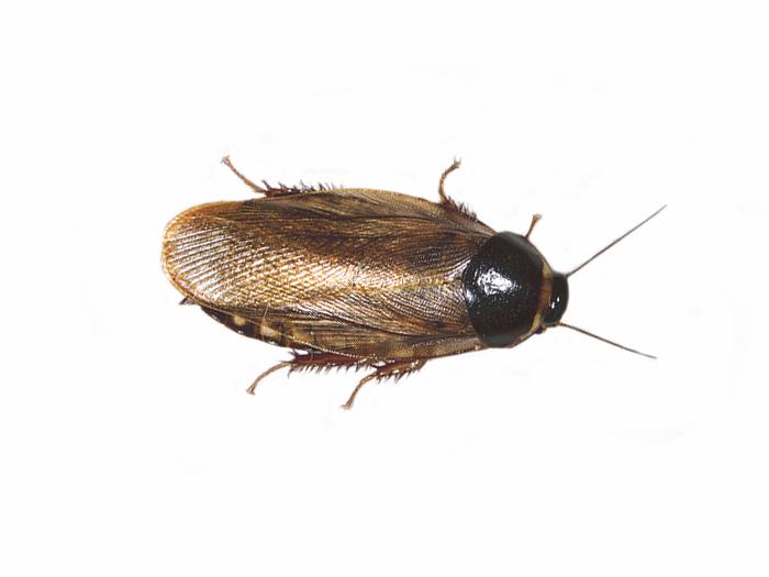 Surinam cockroach infestation?