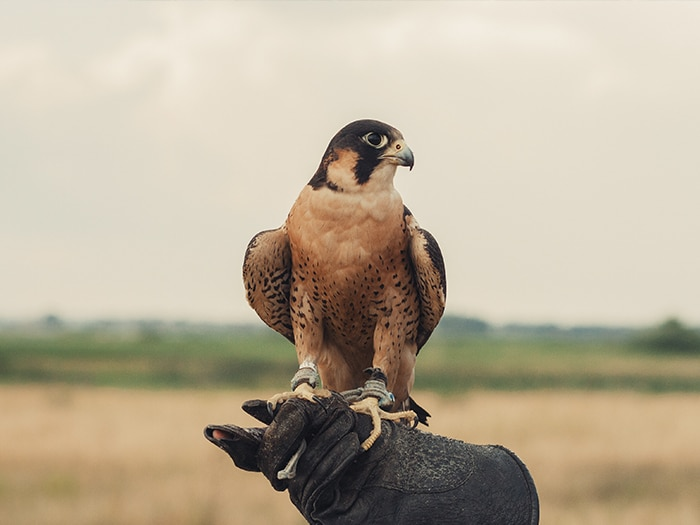 Why use birds of prey or falconry response for effective pest and bird control?